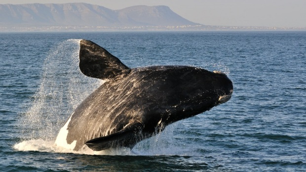 OBSERVE THE WHALES IN HERMANUS