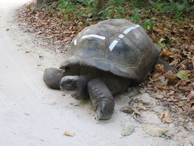 LOCAL WILDLIFE: GIANT TORTOISE